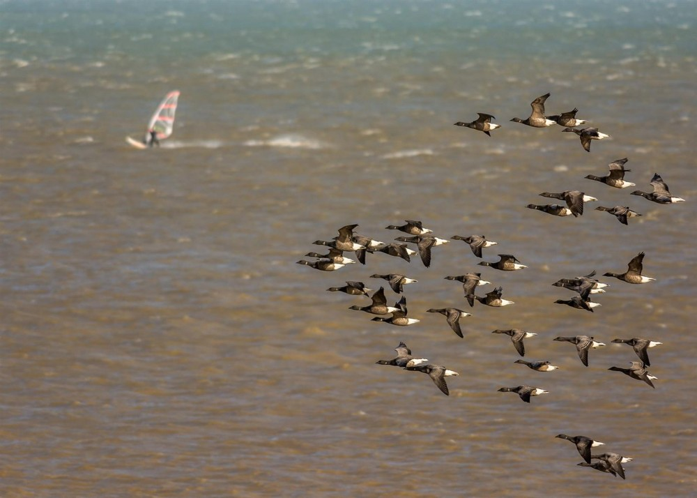 Winter Brent Geese off Herne Bay by David Attenborough
